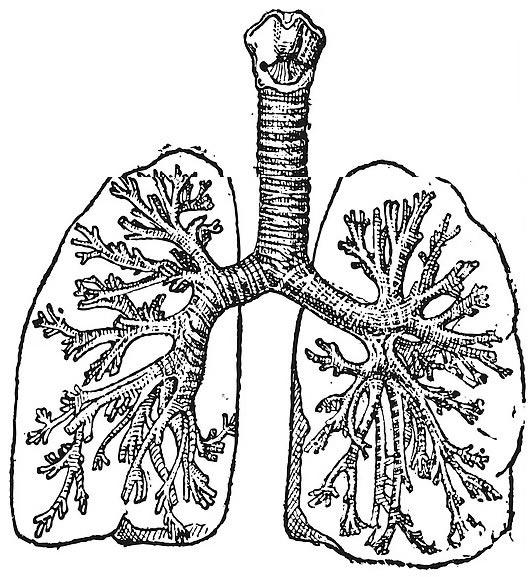tráquea, bronquios, alveolos