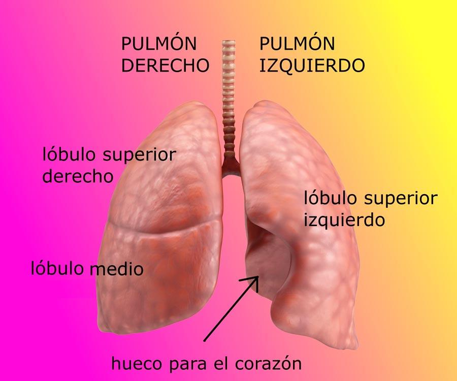 partes de pulmon lobulo pulmonar