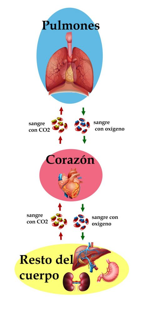 circuito sanguíneo-pulmonar